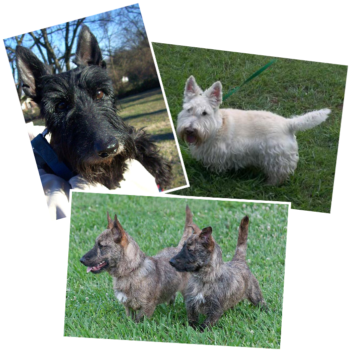 Tennessee Scottish Terrier Rescue Network | Recycling Scottie Love